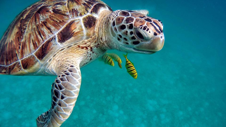 Tortugas Maldivas