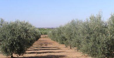 poda olivos